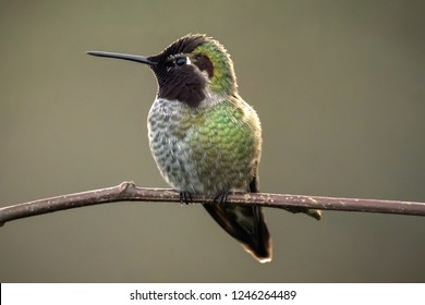Tiny Hummingbird perched on a branch