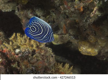 A tiny juvenile Emperor Angelfish (Pomacanthus imperator) at the tropical coral reef marine reserve at the Daymaniyet Islands off the coast of Oman in Arabia