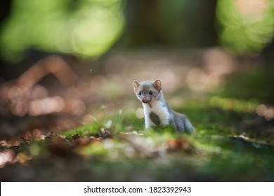 Tiny juvenile Stone Marten, Martes foina, standing on mossy ground, looking directly at camera. Low angle photo, blurred nature background. European forest,  Czech republic.