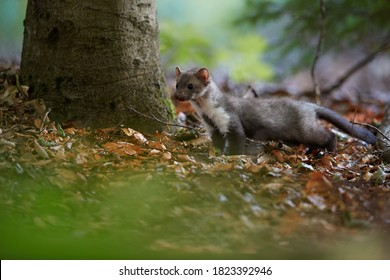 Tiny juvenile Stone Marten, Martes foina,  living in spruce forest. Low angle photo, blurred nature background. European forest,  Czech republic.