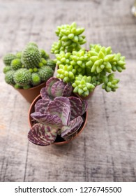 Tiny Kalanchoe humilis or purple spotted kalanchoe with two other succulents on a wooden background