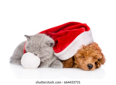 Tiny kitten and Poodle puppy in red christmas hat sleep together. isolated on white background