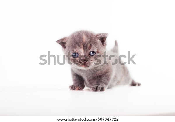 tiny kitten standing on a white background, grey fluffy kitten Scottish Fold, tiny smoky cat