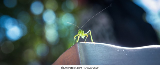 A tiny lime-green katydid, family Tettigoniidae (the katydids and bush-crickets).