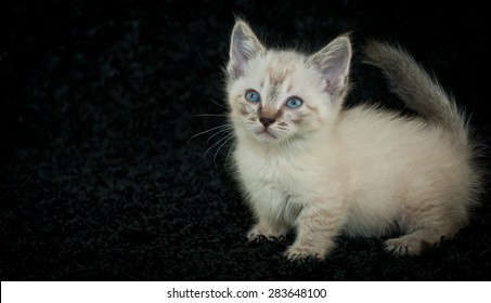 Tiny little Munchkin,  Siamese kitten with blue eyes standing on a black background with copy space.