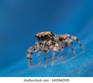 Tiny little Naphrys pulex jumping spider on blue background
