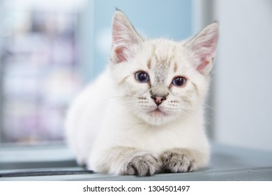 Tiny little white kitten is sitting with his paws forward on blue background