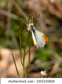 Tiny male Falcate Orangetip butterfly feeding on a diminutive flower of Hairy Bittercress in early spring