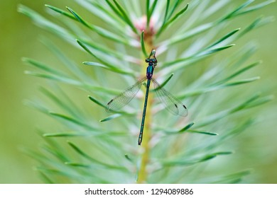 A tiny metallic green damselfly hanging on a pine needle-like leaf.