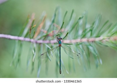A tiny metallic green damselfly hanging on a pine needle (insects of Western Siberia).