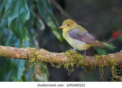 Tiny migratory tanager perched on a branch with moss