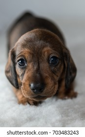 Tiny miniature dachshund puppy on fluffy white blanket facing the camera