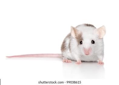 Tiny mouse (three months) posing on white background. Macro shoot