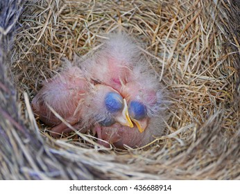 tiny newborn robins sleeping in nest