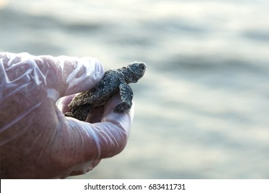 Tiny, newly hatched Kemp's ridley sea turtle in the hands of a ranger on the background of the ocean. Padre Island National Seashore, Texas, USA