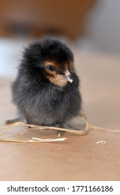 A tiny one day old black chick baby