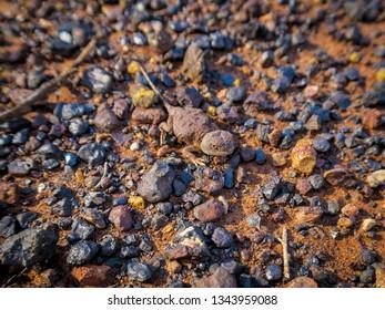 Tiny Pebble Dragon lizard on austrailan red soil. Kalgoorlie. Western Australia