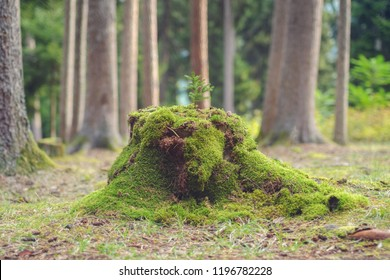 tiny pine tree on the wood stump covered by moss
