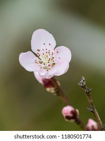 Tiny Pink Blossom in Spring - Taken near Gresford, NSW, Australia