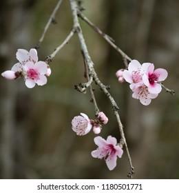 Tiny Pink Blossoms in Spring - Taken near Gresford, NSW, Australia