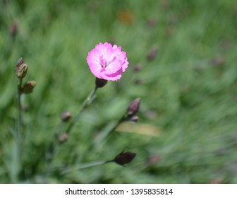 Tiny Pink Flower from Ground Cover