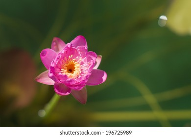 Tiny pink water lily