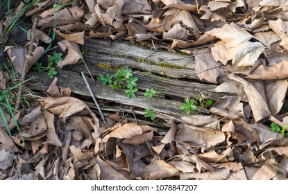 Tiny plants growing through an old piece of wood with dry leaves around