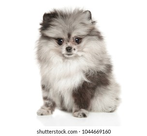 Tiny Pomeranian Spitz puppy with interesting coloring posing on white background