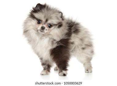 Tiny Pomeranian type Zwerg Spitz puppy on white background