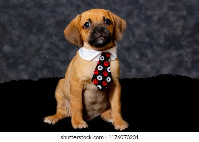Tiny Puggle Puppy Looking Directly at the Camera and Wearing a Funny Tie Costume for Halloween