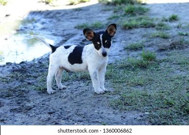 Tiny puppy. Australian Cattle Dog Chihuahua mix.  Big belly, big ears, big heart.