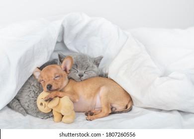 Kleine Welpen- und Babykätzchen schlafen zusammen unter einer warmen Decke auf einem Bett zu Hause. Lieblingsspielzeugbär
