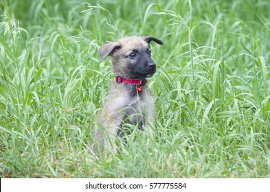 "A tiny puppy of Belgian shepherd ""Malinois"" walks in the grass in the rain."