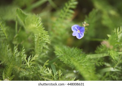 Tiny purple wildflower in the summer.