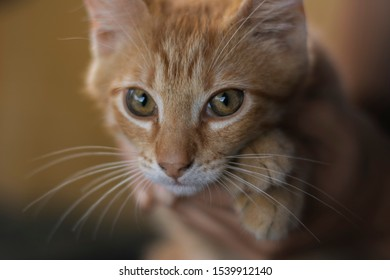 Tiny red fured and white cat in human hands, with big eyes, nice mustache. The picture is very soft, only the eye which is closer is totally clear.