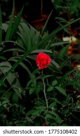 Tiny red rose in the garden