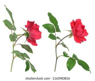 tiny rose flower isolated on white