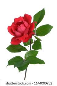 tiny rose isolated on white