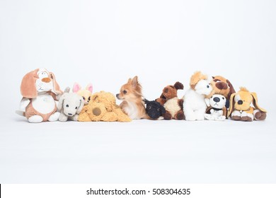 Tiny russet Chihuahua dog hiding among row of a lot of plush toys. On white background.