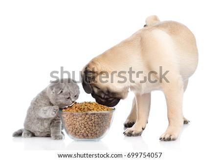 Tiny Scottish Kitten Pug Puppy Eating Stock Photo Edit Now