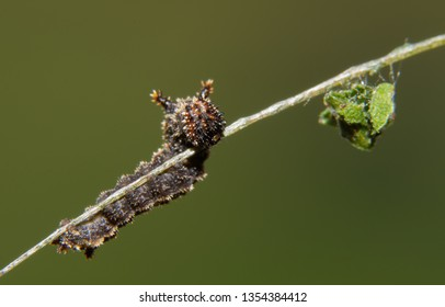 Tiny second instar of a Viceroy butterfly caterpillar on a Willow leaf vein, with dung debris hanging in front of it