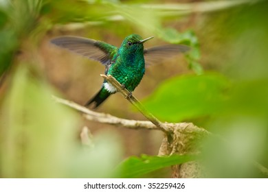 Tiny, shining green male West Andean Emerald Chlorostilbon melanorhynchus perched on mossy twig with fully outstretched wings in andean cloud forest framed by blurred leaves. Green forest background.