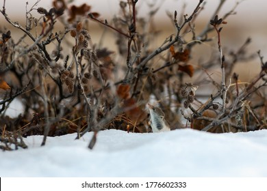 A tiny shrew in the snow among the bushes in the tundra. Eurasian least shrew (Sorex minutissimus), also called the lesser pygmy shrew. Wild animal in natural habitat. Wildlife of Chukotka and Siberia