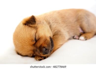 tiny sleeping puppy on white background
