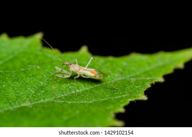Tiny and small adult and nymph assassin bug / Miniature Assassin Bug / Waiting motionless for prey amongst its natural habitat and ever ready to strike with its proboscis rostrum