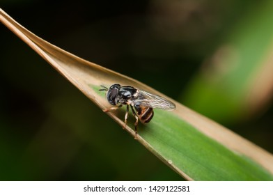 Tiny and small hoverfly resting on grass blade and twig / Miniature Hoverfly / Best time to photograph them is late evening or early morning