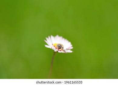 Tiny snail on white daisy flower
