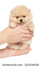 Tiny Spitz puppy puppy in hands on white background. Baby animal theme