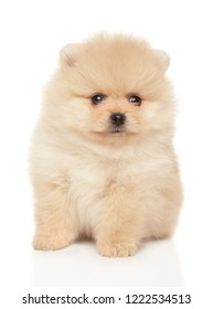 Tiny Spitz puppy sits on white background