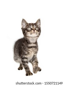Tiny tabby kitten in studio